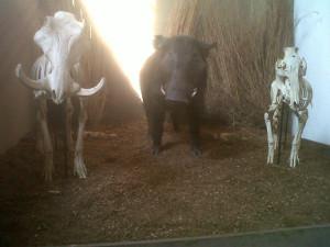 Warzenschweine im Museum